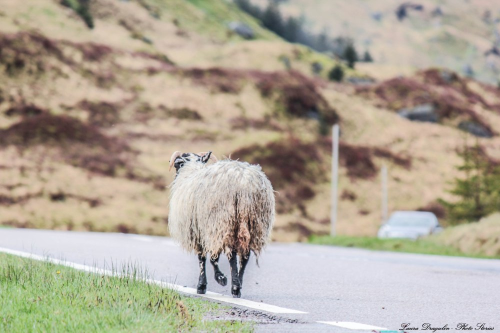 Sheep Highlands