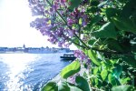 Lilac in Stockholm